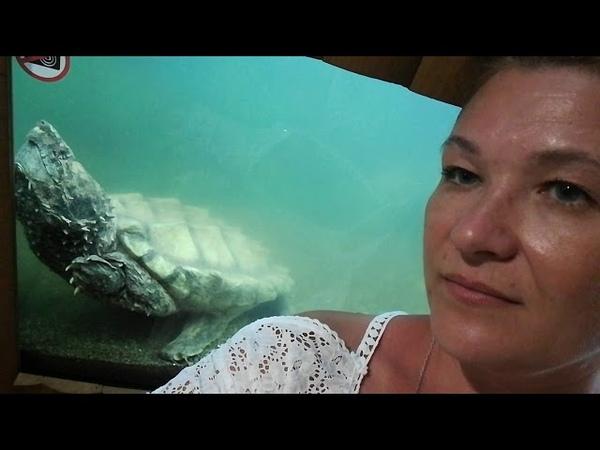 Жутковатая грифовая черепаха...
