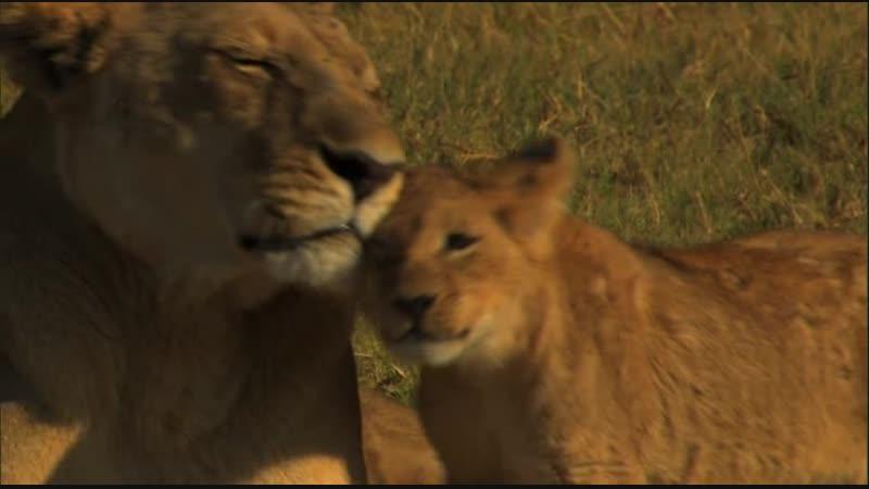 BBC Последние львы