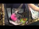 Lykoi Cat, новая порода кошек