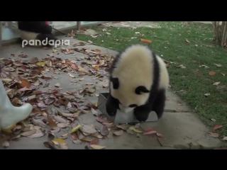 Уборка в вольере у панд