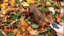 Белочки Екатерининский парк. Царское Село. Squirrels Catherine Park Tsarskoye Selo