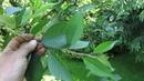 ОБ ОБРЕЗКЕ ВИШНИ Формировка вишни на урожай с не высокой кроной
