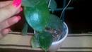 Цветение Хойи Parasitica Lao, hoya BPO1, Dichidia Pectinoides