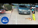 Lazy dog refuses to move from middle of the road for passing truck