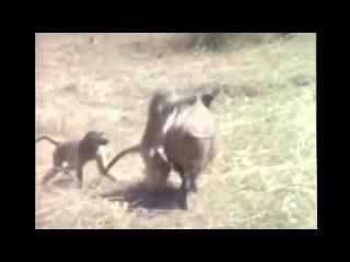 Мартышки убегают от охотников на кабане