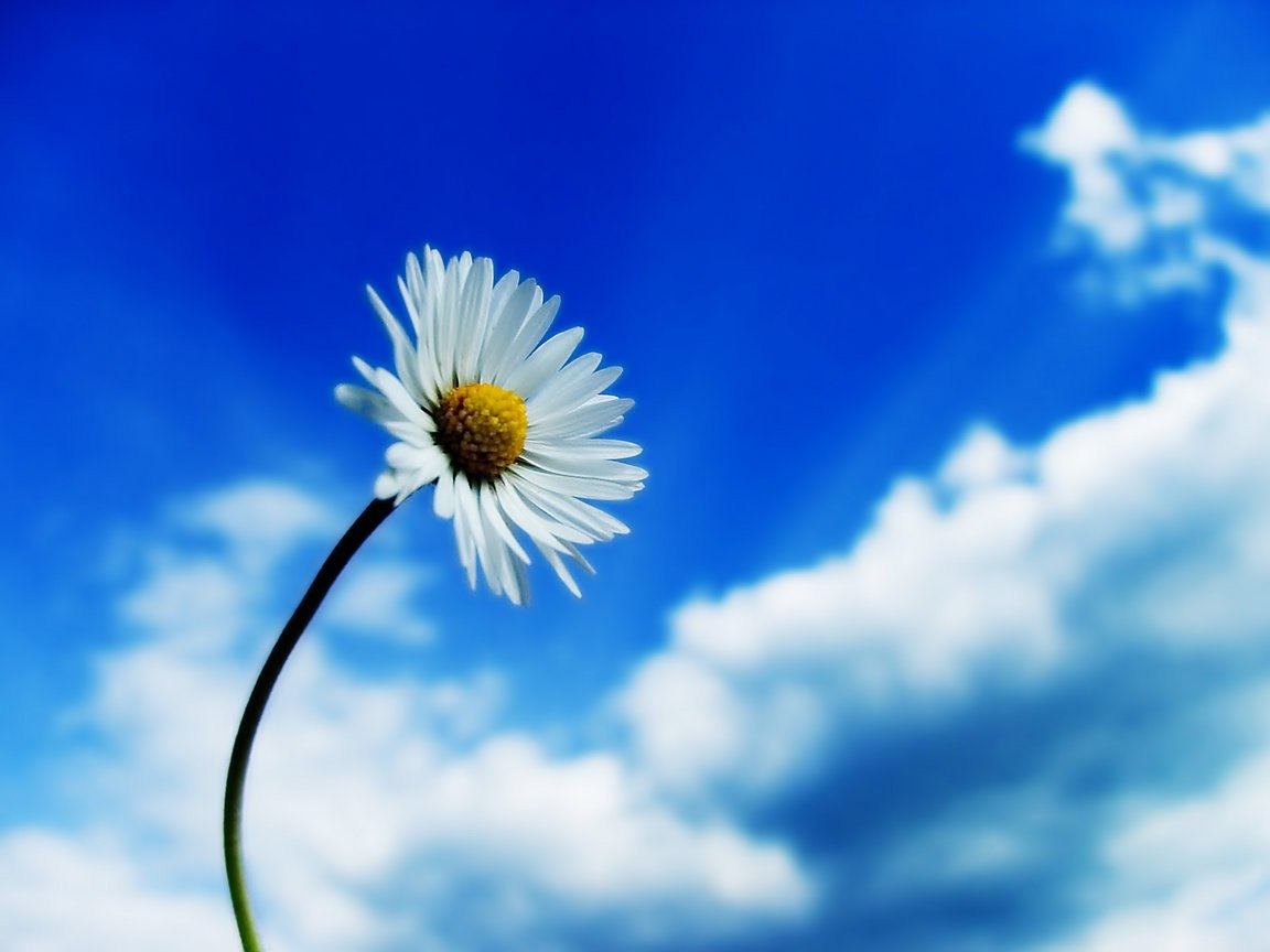 Ромашка і блакитне небо