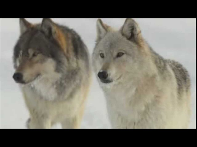 The Imperiled American Wolf