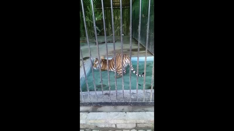 тигра Касандра