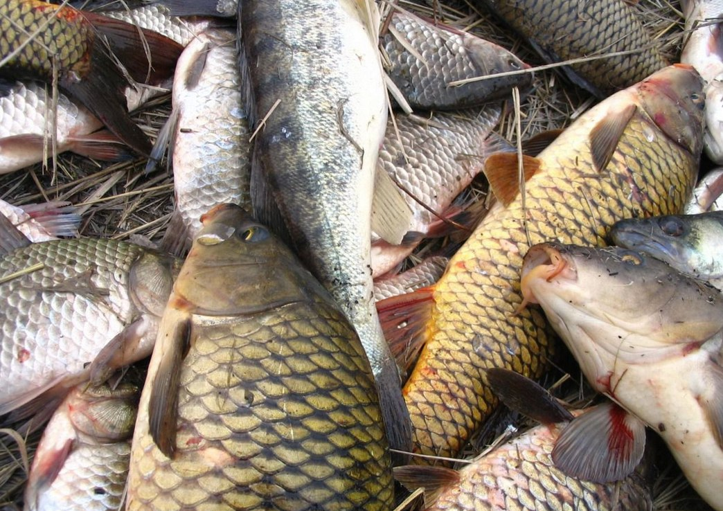 С начала операции «Путина-2016» донские ветинспекторы задержали более двадцати тонн рыбы и раков без документов