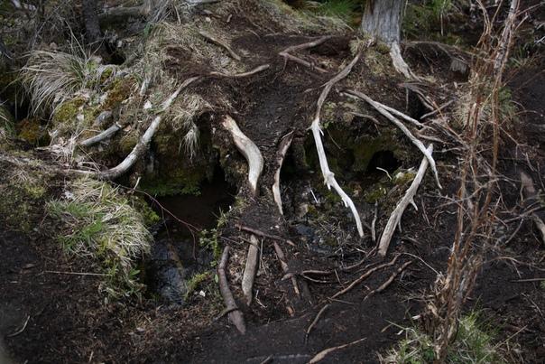 Под корнями ручей намыл себе русло.