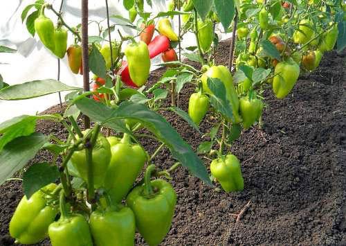 перец в открытом грунте: избегаем ошибок. перец – тепло- и влаголюбивое растение короткого дня. минимальная температура для прорастания семян составляет 15-18°с, а для развития растений –