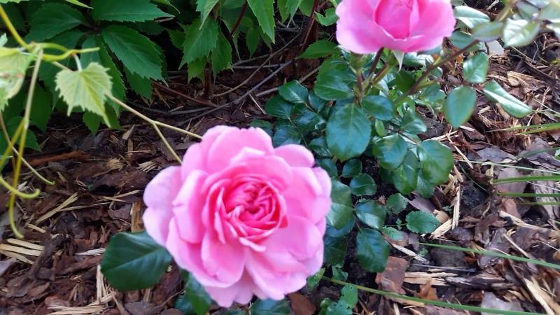Обзор роз: Анжела, Фейри, Чипэндейл и др.