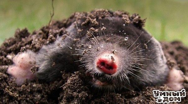 Как избавиться от кротов Вопреки устоявшемуся мнению, кроты не питаются растениями и не обгрызают их корни. Они приносят саду пользу, поедая личинок майского жука, долгоносика, гусениц совки и даже медведок. Жаль, что эти зверьки поедают и дождевых червей, разрушают дорожки, газоны, клумбы, подрывают корни растений. Так как же избавиться от кротов, если их развелось в саду слишком много? Прежде всего, не разрушайте их ходы, в ответ они станут рыть вблизи новые подземные лабиринты. Основным и…