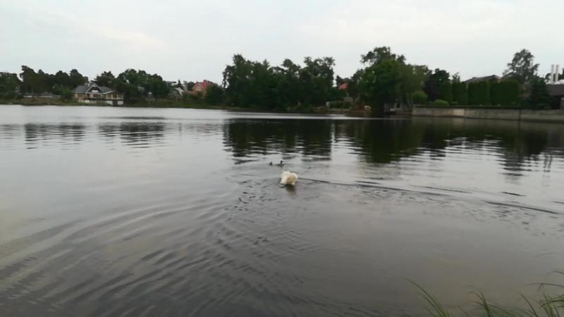 Утиная охота на Сестрорецком болоте.