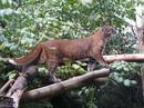 Азиатский золотой кот населяет тропическую и субтропическую природные зоны.
