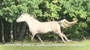 Продажа лошадей арабской породы конефермы Эквилайн, тел., WhatsApp 79883400208 ЛОЭНГРИН2016г.р.