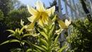 Коллекция редкостей кавказская шовица лилия