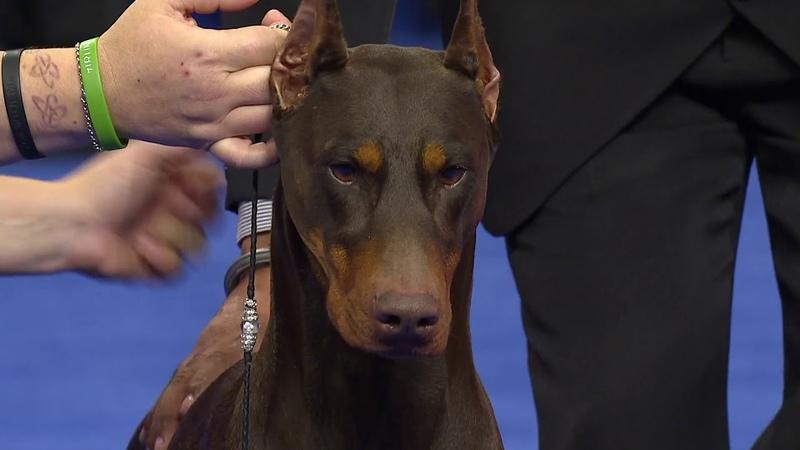 Doberman Pinscher, 2018 National Dog Show, Working Group