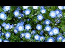 Релакс видео Немофила HD музыка для релакса Relaxing video Nemophila HD Music for relaxation