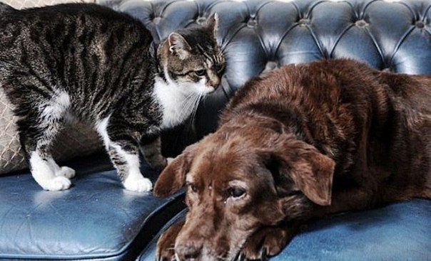 Кошка стала поводырем для слепого пса.