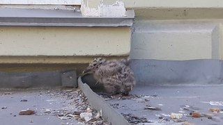 Маленькое чудо - живёт рядом с работой. A miracle in feathers or a gull chick.
