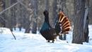 Начало . Весенний ток глухаря в северной тайге (видео фотографа-анималиста Юрия Коковина)