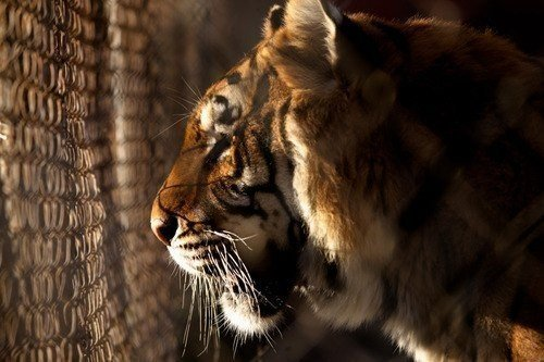 Лучше прожить один день тигром, чем сто лет овцой.