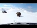 Медведь напал на рыбака, который преследовал его на снегоходе