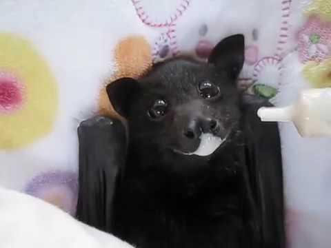 Летучая мышь пьёт банановый смузи