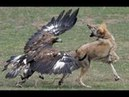 Eagle attacks_Best in the world Vs lion Cat Dog Duck Rabbit Snake Wolf Goat