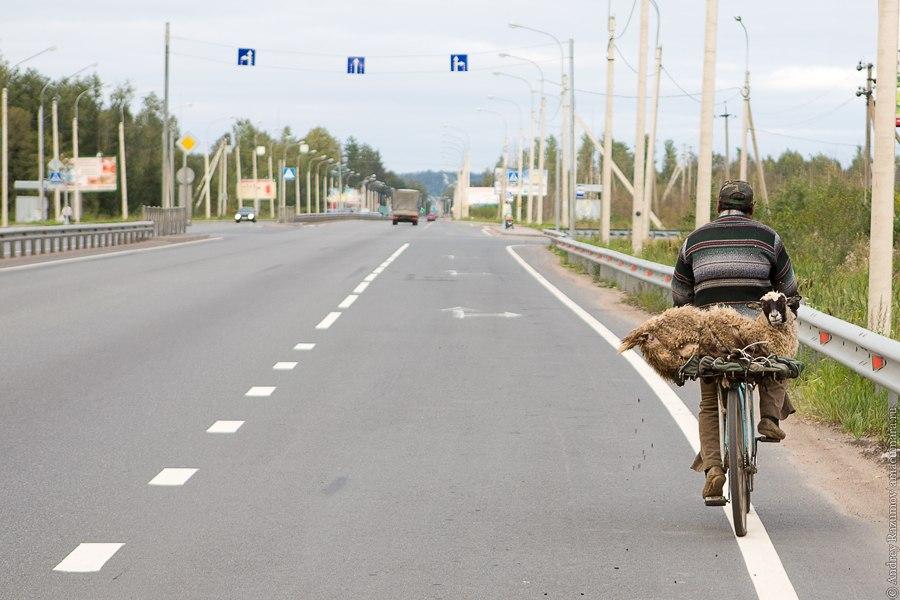 Перевозка барана на велосипеде