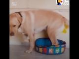 Большой пес пытается влезть в маленькую кровать