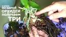 ОТЦВЕЛА ОРХИДЕЯ из 1 получаем 3 СУПЕР интересное РАЗДЕЛЕНИЕ ОРХИДЕИ и РАССАДКА детки с цветоноса
