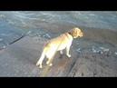Лабрадор любит заходить на мост который ведет в море