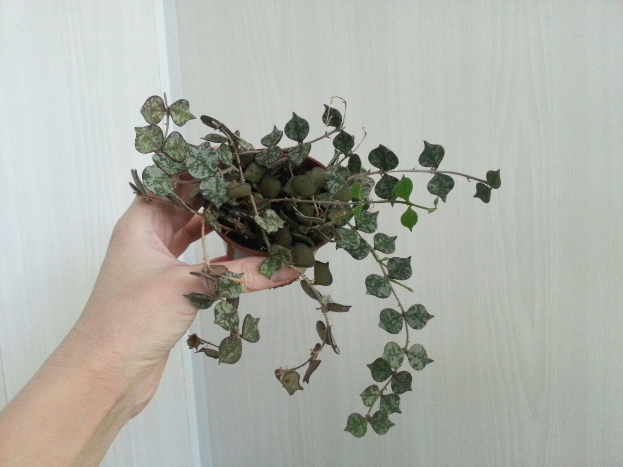 Хойя Куртизи ( Hoya curtisii )  0xCjxnQ4c-M