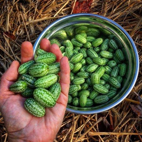 Огурбуз или арбурец Необычное растение, плоды которого представляют собой смесь арбуза и огурца Это огурбуз или арбурец, также известный как мексиканский кислый корнишон или маленькие