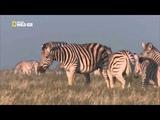 zebra stallion kills another stallion's foal