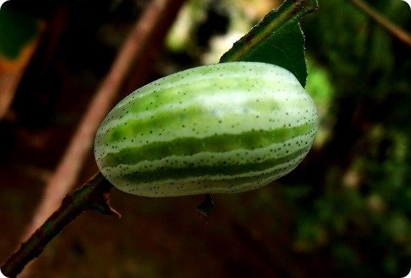 Гусеница-арбуз