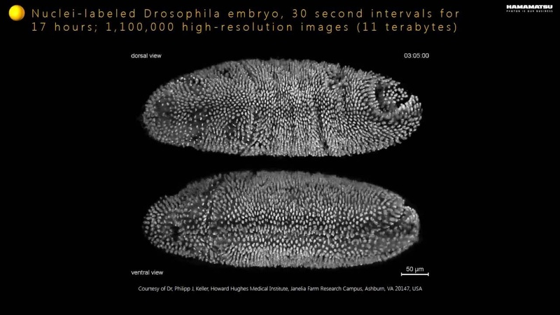 Nuclei labeled Drosophila embryo, 30 second intervals for 17 hours; 1,100,000 high resolution images