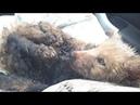Щенок в застывшем гудроне плакал и ждал Отравление нефтепродуктами Он не шевелился saving the puppy