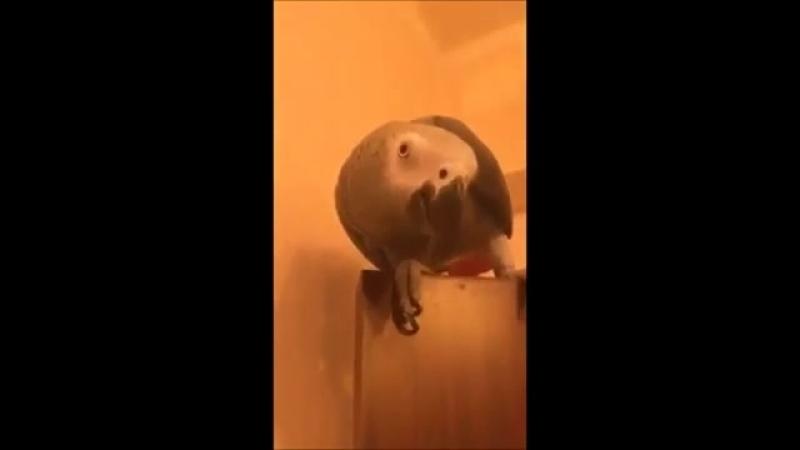 умный папугай