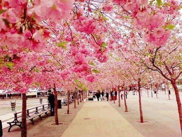 Аллея сакуры в Японии