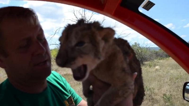 Найден второй львенок возле грозного Ричарда ! Тайган .Крым