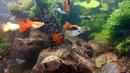 Мои рыбки ГУППИ самцы . АКВАРИУМ Селекция октябрь 2016. (ч.2)