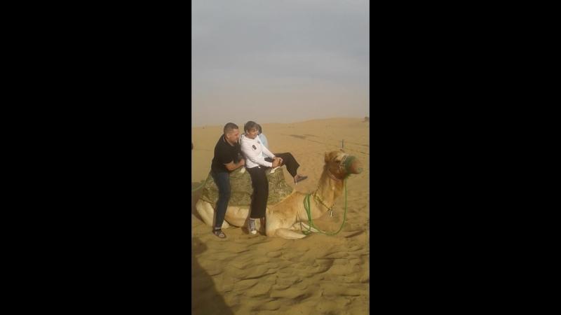Верблюды...мать их