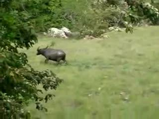 Комодский варан против огромного буйвола