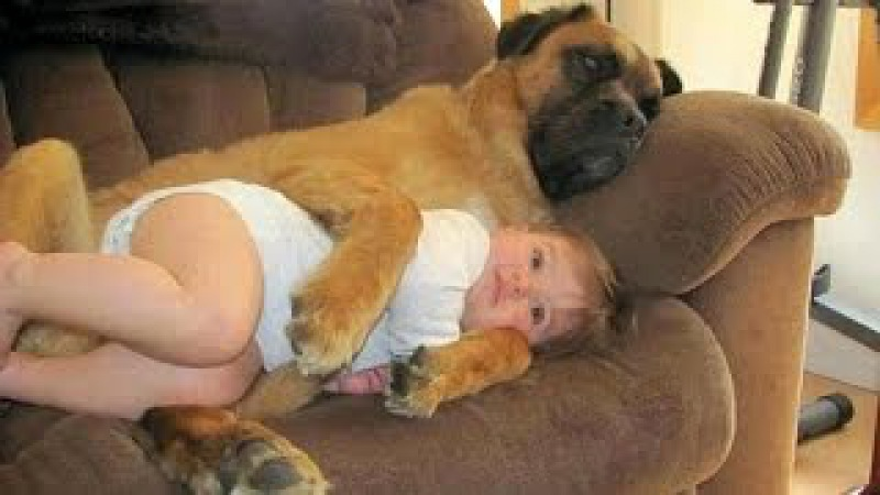 Cute Dog babysitting Dog loves baby when the first time they met