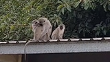 An injured monkey is reunited with his family
