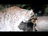 Домашняя кошка Дуся, и её подружка Рысь Линда