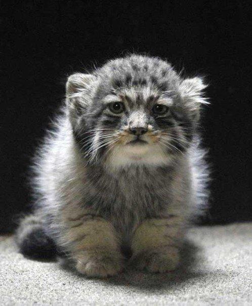 Детеныш кота-манула